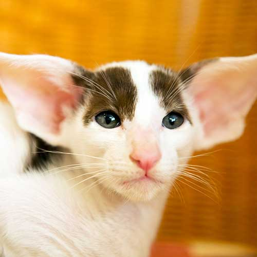side effects of cerenia in cats